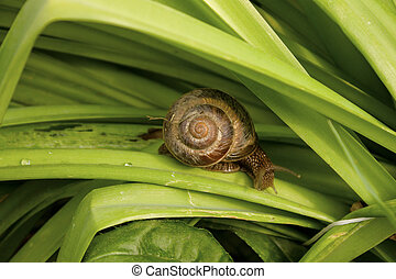 escargot, feuilles, vert