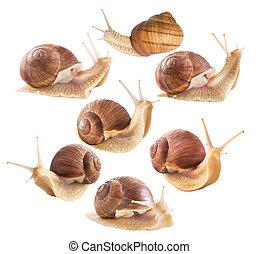 escargots, comestible