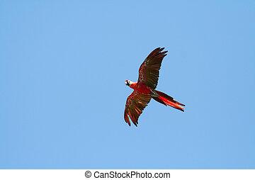 escarlata, vuelo, papagallo, izquierda