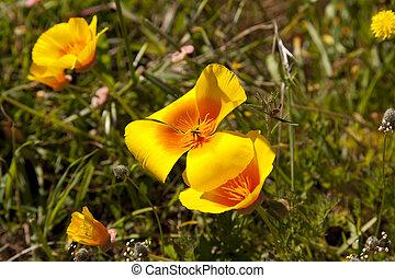 Eschscholzia californica, commonly called the California poppy or golden poppy