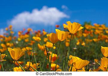 Orange eschscholzia californica flower with blue sky background