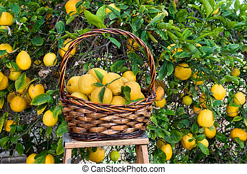 escogido, cesta, árbol, recientemente, limones