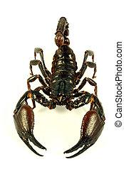 escorpión, (ptalamneus, fulvipes)