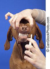 escovar, cão, dentes