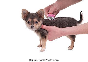 escovar, cachorro branco, fundo, isolado