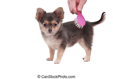 escovar, cute, chihuahua, antigas, meses, isolado, 3, fundo, branca, filhote cachorro