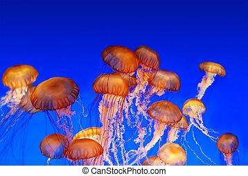 escuela, chrysaora fuscescens, -, ortiga, mar, medusa