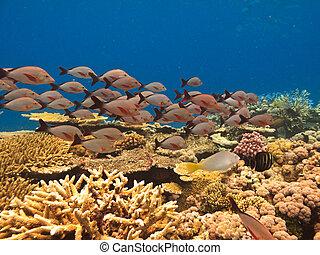 escuela de pescados, y, coral, gran escollo barrera,...