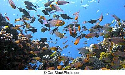 escuela, egipto, coral, vanikoro, barrendero, sea., arrecife...