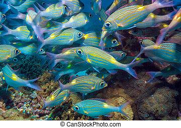 escuela, peces, maldivas, plata