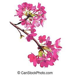 escuro côr-de-rosa, flores, cereja