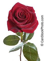 escuro, rosa vermelha
