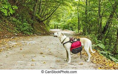 escursionista, foresta, cane