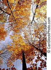 esdoorns, herfst