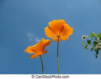 Eshsholtsiya California, or California poppy (Eschscholzia californica), a family of Macs, against the blue sky