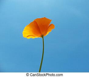 Eshsholtsiya California, or California poppy (Eschscholzia californica), a family of Poppy