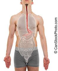 Esophagus Male - Internal Organs Anatomy - 3D illustration