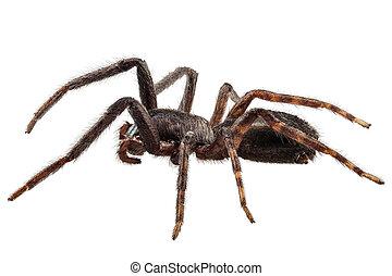 espécie, tegenaria, pretas, aranha, sp