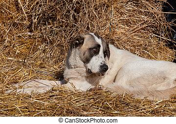 español, mastín, perro, descansar