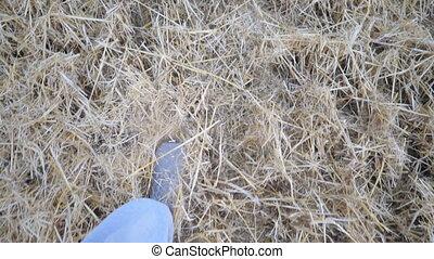 espadrilles, outdoor., jambes, point, type, mouvement, sommet, field., mâle, pov, unrecognizable, sec, courant, fin, jogging, formation, athlète, vue, lent, blé, straw., par, haut, donner coup pied