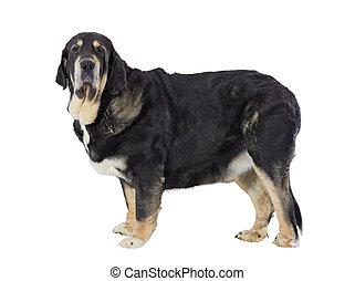 espagnol, mastiff