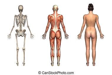 espalda, hembra, anatomía, overlays, -