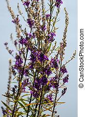 espalda, (linaria, purpurea), púrpura, agonizante, toadflax, verano, tarde