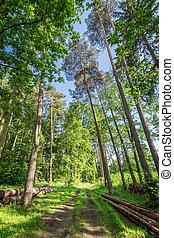 espantoso, floresta verde, em, a, verão, polônia