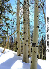 espe, winter- bäume