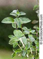 especia, herbario, aire libre, naturaleza, menta verde, menta, plano de fondo, follaje, nadie, hoja, estación, salud, verde, planta, orgánico, crecer, perfumado, arbusto, mentol, hierba, fragante, refresco