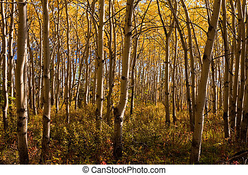 Espen forest in fall - Golden fall colors in espen (Populus...