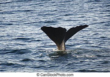 esperma, ballena
