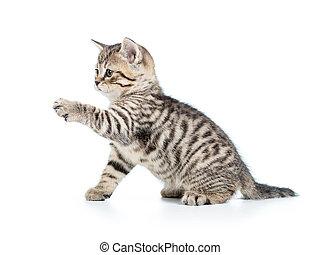 espiègle, blanc, chaton, isolé, chat