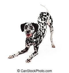 espiègle, cintrage, dalmatien, chien