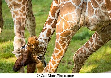 Rigolote girafe rigolote gros plan girafe fond blanc - Girafe rigolote ...