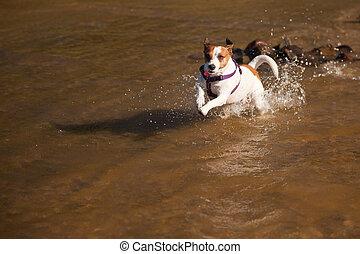 espiègle, russell, chien, eau, cric, terrier, jouer