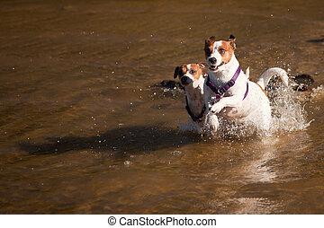 espiègle, russell, chiens, eau, cric, terrier, jouer
