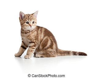 espiègle, tabby., breed., britannique, kitten.