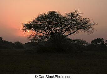 espina, árbol, en, amanecer