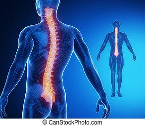 espina dorsal, anatomía, hueso, radiografía, exploración