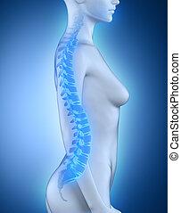 espina dorsal, anatomía, lateral, hembra, vista