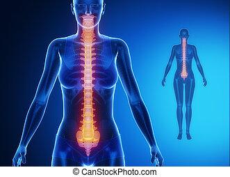 espina dorsal, azul, x--ray, examen de hueso