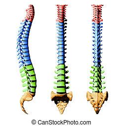 espina dorsal, colores, -