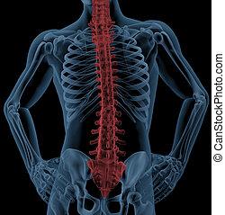 espina dorsal, de, un, médico, esqueleto