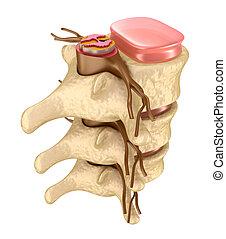 espina dorsal, detalles, humano