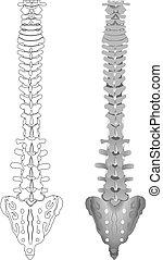 espina dorsal, dibujo