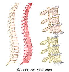 espina dorsal, gráfico