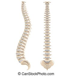 espina dorsal, huesos, blanco, vector, aislado