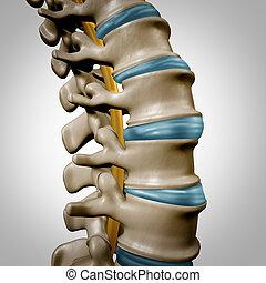 espina dorsal humana, anatomía, sección