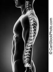espina dorsal, lateral, izquierda, humano, vista